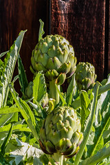 Backyard Choke (davidseibold) Tags: america artichoke backyard bakersfield california jfflickr kerncounty nature photosbydavid plant platoct postedonflickr unitedstates usa vegetable