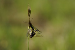 Couple d' Ascalaphe soufré (passionpapillon) Tags: macro insecte bokeh color passionpapillon 2019 sonyilce6300 fe90mmf28 macrogoss libelloidescoccajus ascalaphesoufré ngc