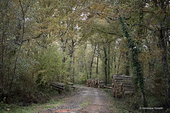 Between two downpours ... (domingo4640) Tags: landes chalosse gousse chemin arbre foret sousbois automne bois coupe