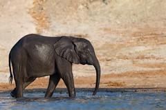 Making a Splash (Glatz Nature Photography) Tags: africa botswana choberiver glatznaturephotography nature nikond850 wildanimal wildlife elephants africanelephant africanbushelephant loxodontaafricana babyanimals elephantbay chobenationalpark water river splash wet animal mammal elephantcalf