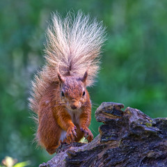 ~ Red Squirrel ~ (Margaret S.S) Tags: redsquirrel rodent