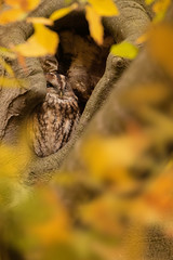 Bosuil - Tawny Owl (KarsKW) Tags: bosuil tawny owl owls bird birds prey predator dutch nature photography animals wildlife aves birding karskw kars klein wolterink nederland autumn color leaves tree yellow orange strix aluco