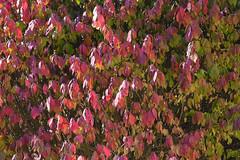 Just For The Color (Modkuse) Tags: colorful colors color brightcolors bright nature natural natureart art artphotography artistic artisticphotography photoart red redleaves nopostprocessing straightoutofcamera sooc velvia fujichromevelvia fujifilmxt2velvia fujifilmxt2velviasimulation fujifilm fujifilmxt2 xt2 xf55200mmf3548rlmois fujinonxf55200mmf3548rlmois autumn autumnleaves autumncolor autumncolors fall fallcolors fallcolor