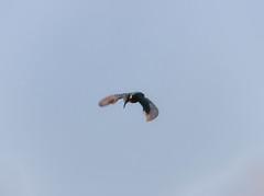 Kingfisher spotting its prey (ray 96 blade) Tags: majesticworldofthekingfisher kingfisher fishing catch springwatch wildlife birds groveferrystodmarshnnr kent