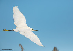 Little Egret at El Hondo, November 2019 (Ted Humphreys Nature) Tags: littleegret egrets elhondo spain wadingbirds tedhumphreysnature