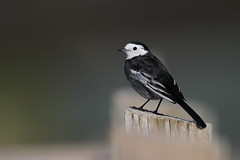 Pied Wagtail (Robin M Morrison) Tags: piedwagtail catcott hide somersetwildlifetrust