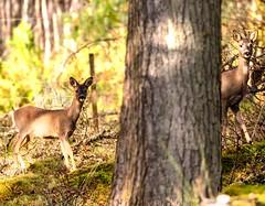 Red deer  of Scottish highlands benmore forest. (ranjo sheikh) Tags: ukwildlife reddeer scotland canonuk nature lovenature naturephotography wildlifephotography