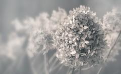 fleurs mortes / Dead flowers (cébé céline) Tags: flowers autumn blackandwhite nb noiretblanc bw dead winter fog brume