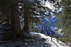 DSC_0275 (Bergwandern Alpen) Tags: alpen alps bergwandern hiking bergwald mountainforest firs tanne gamperdunerwald