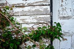 Weathered Vine (pjpink) Tags: littlewashington washington virginia july 2019 summer pjpink 2catswithcameras abandoned overgrown