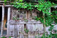 Vine Entwined (pjpink) Tags: littlewashington washington virginia july 2019 summer pjpink 2catswithcameras abandoned overgrown