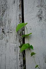 Green Vine (pjpink) Tags: littlewashington washington virginia july 2019 summer pjpink 2catswithcameras abandoned overgrown