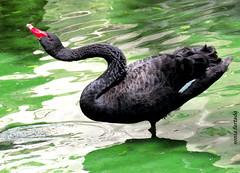 Sábado-animal (sonia furtado) Tags: sábadoanimal animal ave cisne soniafurtado