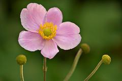 Anemone (pstenzel71) Tags: blumen natur pflanzen anemonehupehensis anemone herbstanemone darktable flower bokeh