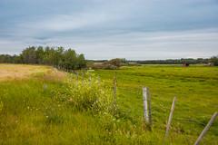 Rural Pasture (Bracus Triticum) Tags: rural pasture アルバータ州 alberta canada カナダ 8月 八月 葉月 hachigatsu hazuki leafmonth 2019 reiwa summer august