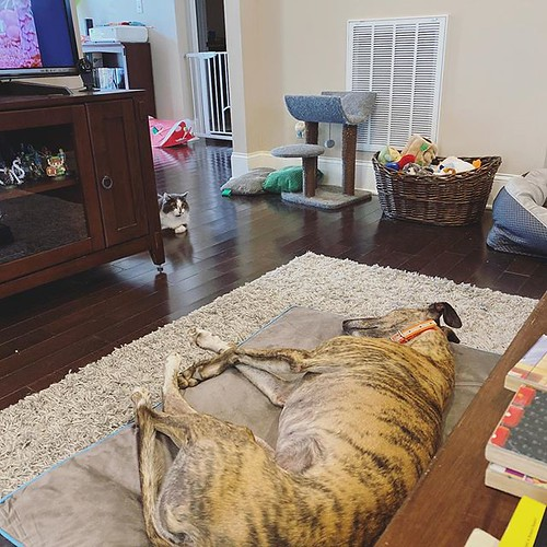 """Today we welcomed Eleanor """"Ellie"""" Rigby Morris into our home and our pack. She's a six-year-old retired racing greyhound who's sweet as can be. Stella loves her already (and the feeling is mutual), BK ignores her, Dragon is scared of her and King Boo does"""