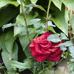 Роза (PhotoSharR Roman Sharov) Tags: природа лето цветок роза