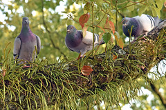 Pigeons (bluefam) Tags: birds pigeon tree park peace hiroshima japan naka
