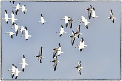 Snow geese (RKop) Tags: raphaelkopanphotography indiana ewingbottoms d500 nikon 600mmf4evr