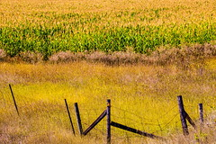 Simple (stevenbulman44) Tags: corn velvet fence color landscape summer shuswap field farm harvest canon 70200f28l tripod filter gitzo 5dmarkii lseries