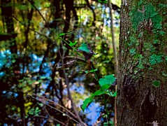 Bark (surfcaster9) Tags: cypresstree mold water leaves outside bark marsh florida lumixg7 lumix25mmf17asph outdoors nature green closeup