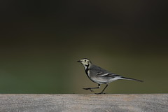 Walking the Plank (Robin M Morrison) Tags: catcott somersetwildlifetrust piedwagtail
