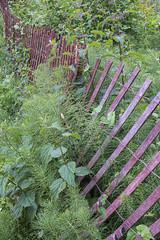 Serpentine (allanga_69) Tags: fence overgrown seattle pacificnorthwest pugetsound washingtonstate fujifilmxt2