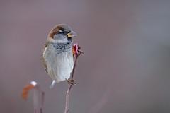 House sparrow, Gråsparv (Passer domesticus) (GcCostello) Tags: housesparrow gråsparv bird birds falun dalarna sweden birdwatching nature natur nikon passerdomesticus