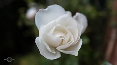 last rose (W A G N E R • P I C T U R E S) Tags: leica q macro street urban wellingborough rose floral white flower petals plant closeup beauty