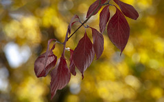 Autumn Leaves (Southern Darlin') Tags: autumn fall heart leafs red yellow gold bokeh nature naturephotography canon