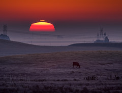 Good Morning (mikeSF_) Tags: morning sun sunrise daylight telephoto pentax 645 645z 600 600mm 14x teleconverter long lens vasco armstrong tracy california contracosta county cow wwwmikeoriacom mikeoria oria photography landscape farm ranch country
