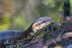 Cottonmouth (DFChurch) Tags: sixmilecypressslough cottonmouth watermoccasin snake pit viper reptile venom venomous nature animal wild florida fortmyers
