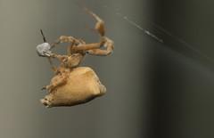 Uloborus plumipes (Richard McMellon) Tags: featherleggedspider oxfordbotanicgarden uloborusplumipes arachnid macro spider