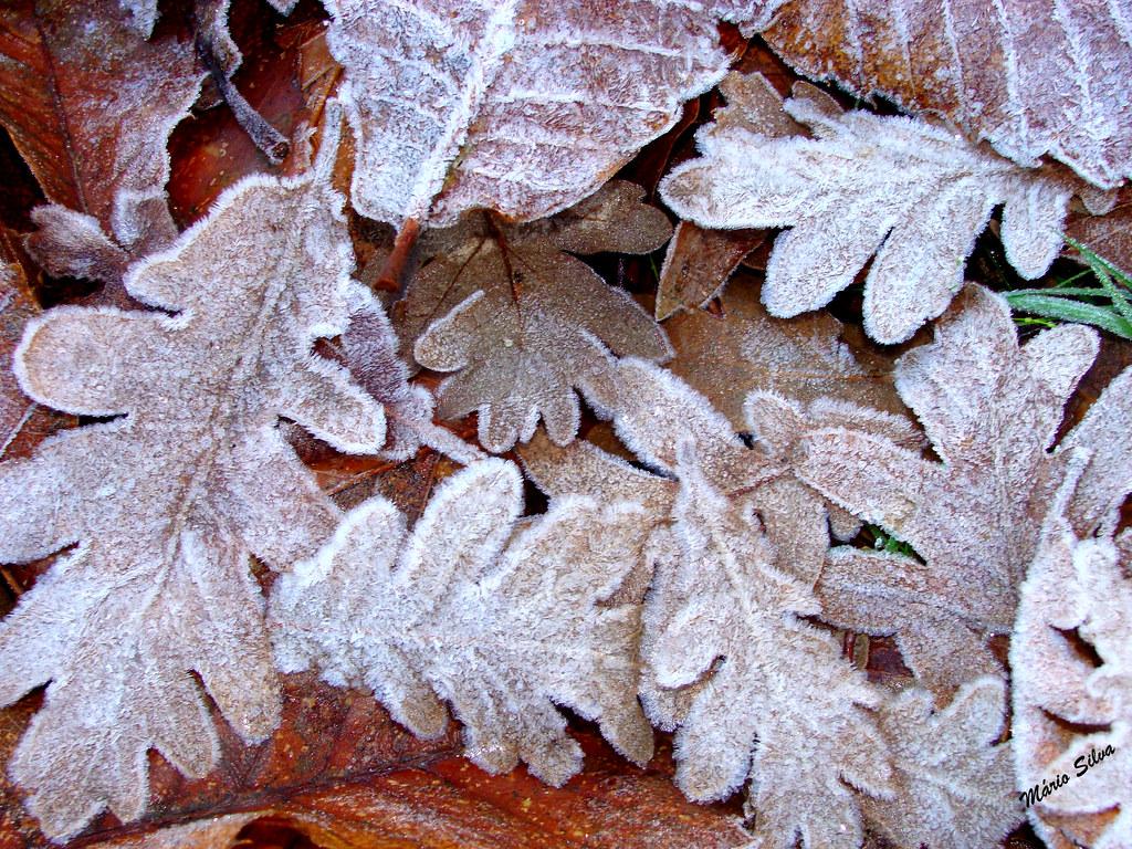 """Águas Frias (Chaves) - ... depois de uma noite de geada, as folhas caídas transformaram-se em belas peças de """"filigrana"""" de um branco cristalino ..."""