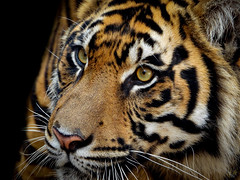 THE FUTURE (eliewolfphotography) Tags: tiger tigers cats bigcats bigcat asia disney animals feline conservation conservationphotography felines stripes fineartphotography artistic creative explore animal nature naturephotography naturelovers natgeo natgeowild eyes