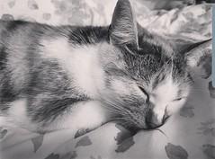 Sleepy Rosie 💕💕🐯 (rickycantrell042) Tags: animals cat sleepy pet