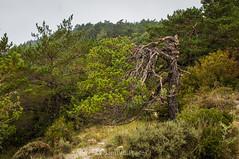 Dura supervivencia (SantiMB.Photos) Tags: 2blog 2tumblr 2ig lamussara vilaplana tarragona verano summer baixcamp pino pine lafebro cataluna españa