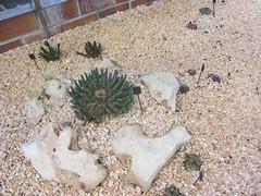 Mini succulents (d.kevan) Tags: