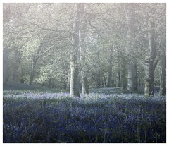 Back in the spring (jamesdewar99) Tags: spring bluebells nature outdoor naturephotography trees woodland light tree colour uk scotland flowers