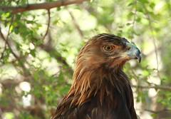 Golden Eagle Portrait! (rambokemp) Tags: portrait eagle golden phoenixarizona branch bird wildlife wilderness wild canoneos1dxmarkii