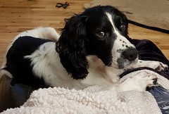 Well ... aren't you going to stroke me? HSOS! (Different Aspects) Tags: smileonsaturday peopleandpets mac springerspaniel unlimitedphotos