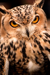 GH Owl 3-0 F LR 11-10-19 J159 (sunspotimages) Tags: nature wildlife animal animals owl owls greathornedowl greathornedowls bird birds