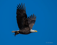 Bald Eagle with an American Shad in its Talons (Jim Beers) Tags: bird raptor fish susquehanna sky blue beak beautiful