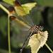 Jade-striped Sylph - Macrothemis inequiunguis, Lockhart, Texas