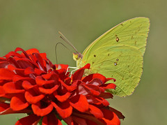 Sulphur on Zinnia (flyfishermike) Tags: