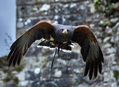 The eyes of a hunter (Tony Calvert) Tags: cars beaulieu nationalmotormuseum daysout falconry