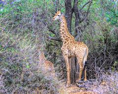 Giraffe among the trees in South Africa (` Toshio ') Tags: toshio giraffe southafrica africa giraffes animal mammal nature safari trees bush canon7d canon 7d tree