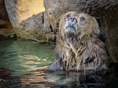 A Dreamy Soak (helenehoffman) Tags: omnivore brownbear ursusarctoshorribilis wildlife mammal grizzlybear ursus conservationstatusleastconcern nature ursusarctos sandiegozoo carnivore animal coth alittlebeauty specanimal coth5