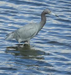 Little Blue Heron has protective coloration (Ruby 2417) Tags: blue heron bird wildlife nature water coast estuary marsh salt rivermouth san diego lagoon wetland wetlands coastal