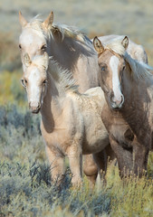 Pony family (1 of 1) (Jami Bollschweiler Photography) Tags: beautiful wyoming pony family utah photographer wildlife photography mare foals